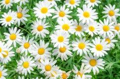 Daisy Royalty Free Stock Photo