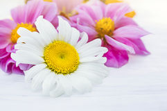Daisy on a background of pink dahlia on white table Royalty Free Stock Images