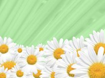 Daisy Background, Summer or Spring Seasonal Royalty Free Stock Photos
