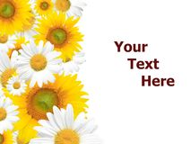 Daisy Background, Summer or Spring Seasonal Royalty Free Stock Images