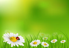 Daisy background. Vector illustration of daisy background Stock Images