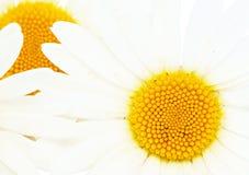 Daisy background. Stock Image