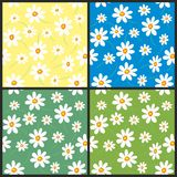 Daisy backgrounds. Four seamless daisy backgrounds. Vector Stock Photography