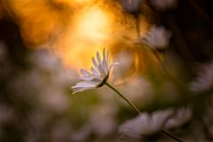 Daisy in backlight. In Sweden royalty free stock photography