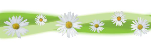 Daisy banner. Green banner with white daisies Royalty Free Stock Images