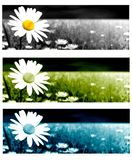 Daisy banner Stock Images