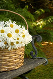 Daisy basket. Wicker basket filled with daisies on a park bench Royalty Free Stock Image