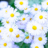 Daisy. Beautiful chrysanthemums in the garden Royalty Free Stock Photography