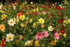 Daisy,beautiful floral background. Daisy under sunset,beautiful floral background, different colors Royalty Free Stock Photo