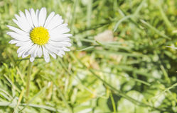 Daisy. Beautiful daisy flower in grass Stock Images