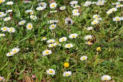 Daisy. Beautiful white field of daisies flowers in garden. Spring and summer flowers background and beautiful natural environment. Royalty Free Stock Image