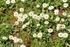 Daisy. Beautiful white field of daisies flowers in garden. Spring and summer flowers background and beautiful natural environment. Royalty Free Stock Photos