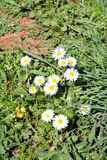 Daisy. Beautiful white field of daisies flowers in garden. Spring and summer flowers background and beautiful natural environment. Royalty Free Stock Images