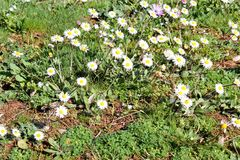 Daisy. Beautiful white field of daisies flowers in garden. Spring and summer flowers background and beautiful natural environment. Royalty Free Stock Photo