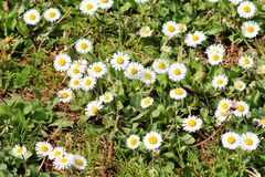 Daisy. Beautiful white field of daisies flowers in garden. Spring and summer flowers background and beautiful natural environment. Stock Photos