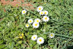Daisy. Beautiful white field of daisies flowers in garden. Spring and summer flowers background and beautiful natural environment. Stock Images