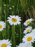 Daisy Bee immagine stock