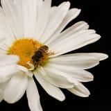Daisy Bee Royaltyfri Bild