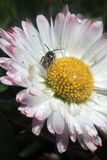 Daisy with bee (Bellis perennis) Stock Photos