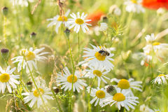 Daisy with a bee Stock Photography