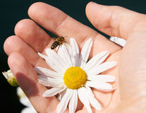Daisy and bee in a hand. White daisy and bee in a hand stock images