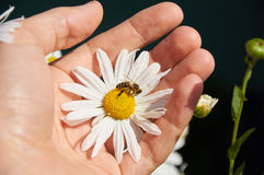 Daisy and bee in a hand. White daisy and bee in a hand stock photo