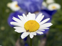 Daisy with Bee-like Fly (syrphid fly). A syrphid fly, that mimics a bee in appearance rests on a Shasta daisy with iris and other daisies in the soft-focused Royalty Free Stock Photography