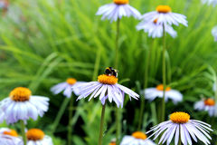 Daisy and Bee Stock Photo