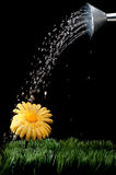 Daisy being watered on black Stock Photo