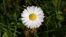 Daisy Bellis Flower Sway In il vento stock footage