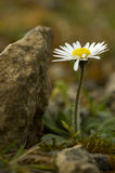 Daisy - Bellis perennis Royalty Free Stock Images