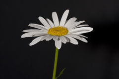 Daisy Bellis perennis. Daisy-Bellis perennis with a black background Royalty Free Stock Images