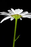 Daisy Bellis perennis. Daisy-Bellis perennis with a black background Stock Photography