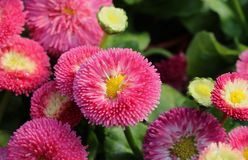Daisy, Bellis perennis in blossom - favourite ornamental plant. Flowering pink at a florist´s Stock Photography