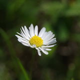 Daisy - Bellis perennis Royalty Free Stock Photo