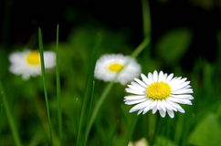 Daisy - Bellis perennis. Closeup of Daisy - Bellis perennis beautiful flower on the green lawn Stock Images