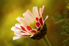 The daisy Bellis perennis flower Stock Image