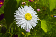 Daisy Bellis perennis. In a flower meadow Royalty Free Stock Image