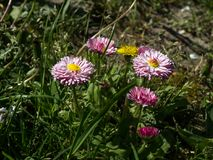 Daisy Bellis perennis. The daisy Bellis perennis flower in the spring park Stock Photos