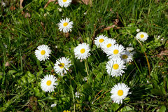 Daisy (Bellis perennis) Stock Photography