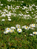 Daisy (Bellis perennis) Royalty Free Stock Image