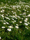 Daisy (Bellis perennis) Stock Images