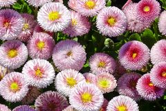 Daisy Bellis perennis. Flowers in the garden, Daisy Bellis perennis Royalty Free Stock Photo