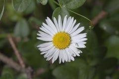 Daisy Bellis perennis. Daisy-Bellis perennis in a garden Stock Photo