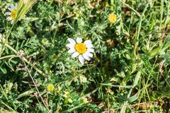 Daisy Bellis perennis on grass royalty free stock images
