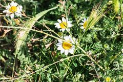 Daisy Bellis perennis on grass royalty free stock photography