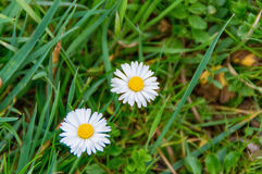Daisy Bellis perennis grows in spring in the middle of the meadow Stock Photo