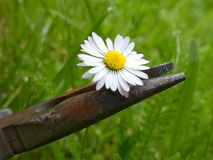 Daisy Bellis Perennis Innocence. Pliers crushing the body of Daisy flower Stock Image