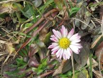 Daisy, Bellis perennis, perennial in the garden royalty free stock photo