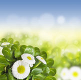 Daisy, Bellis perennis in sunlight on sky background Royalty Free Stock Photography